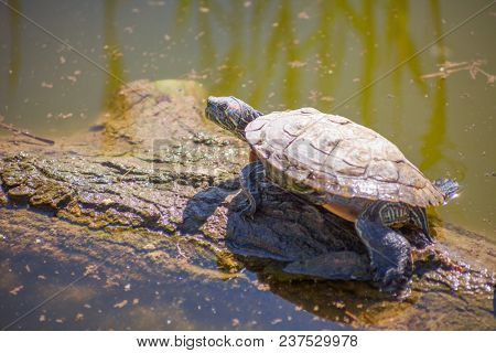 turtle at the pond on a log. background