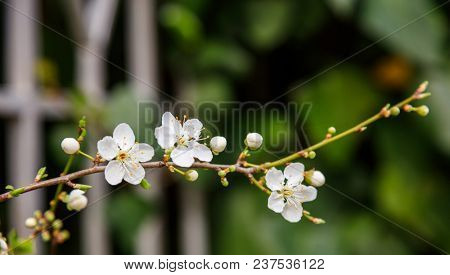 White blooming flowers on almond tree branch. Fruit tree on springtime. Blurred background, close up view with details.