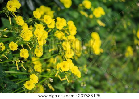 Small yellow wild flowers in meadow and blurred nature background. Close up view.