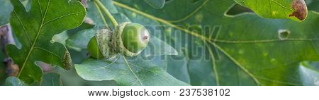 Banner Of Oak Branch With Green Leaves And Acorns On A Sunny Day. Oak Tree In Summer. Blurred Leaf B