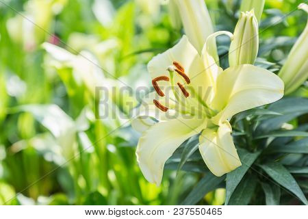 Yellow Lily Flower. Beautiful Lily Flower In Lily Flower Garden. Lily Lilium Hybrids Flower. Lily Fl