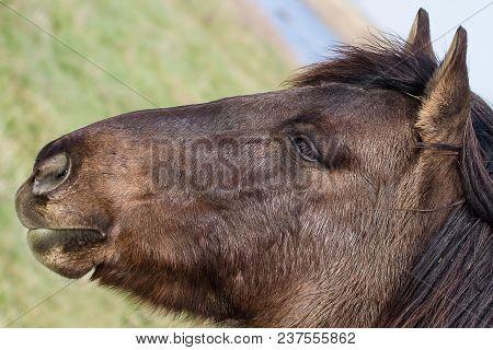 Close-up Photo Portrait Of A Konik Wild Horse