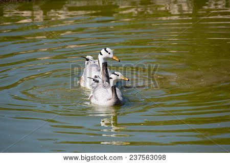 The Bar-headed Goose Is Named For The Two Conspicuous Dark Bars Running Around The Back Of Its White