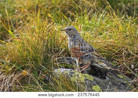 Alpine Accentor (prunella Collaris).  Alpine Accentor On The Rock In Fagaras Mountains Arges Romania