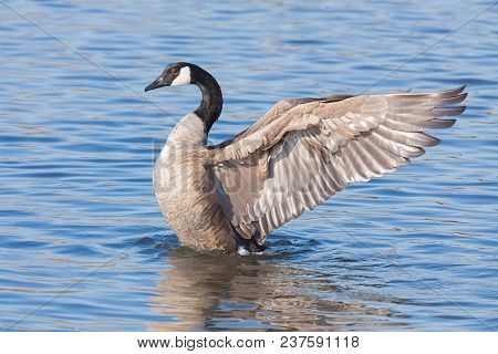 A Profile Of A Canada Goose As It Rises Out Of A Blue Lake.  At It Rises, The  Goose Spreads Its Win