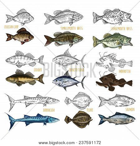 Set Of Isolated Sea Or Ocean Fish Side View. Sketches Of Crucian Carp And Smallmouth, Largemouth Bas