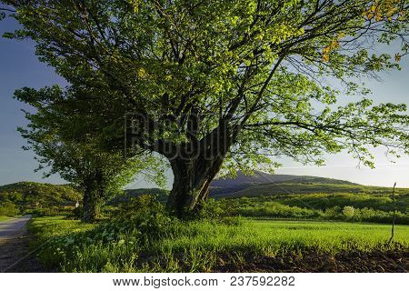 Old oak tree landscape in sunset. Countryside landscape with old oak trees and lonely road. Trees. Landscape. Old oak foliage in springtime. European countryside landscape in sunset.