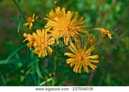 Smooth Hawksbeard - Crepis capillaris Grassland Wild Flower poster