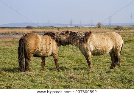 Photo Of A Pair Of Konik Wild Horses Grooming Each Other