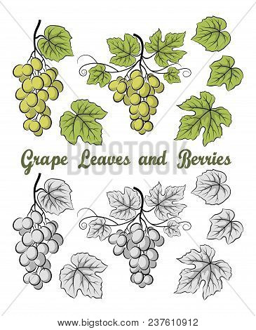 Set Of Grape Bunches, Berries And Leaves, Colorful Green And Contour Grey Version On White Backgroun