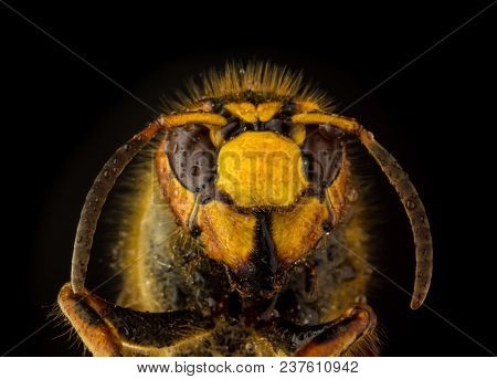 Face Of European Hornet (vespa) In Drops Of Water On Black Background