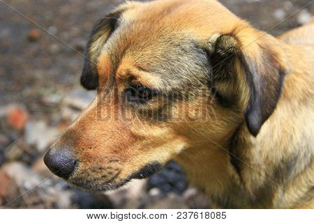 Brown Sad Mongrel Standing On Ground. Curious Dog Looking Sadly. Homeless Mongrel Dog Waiting For Ne