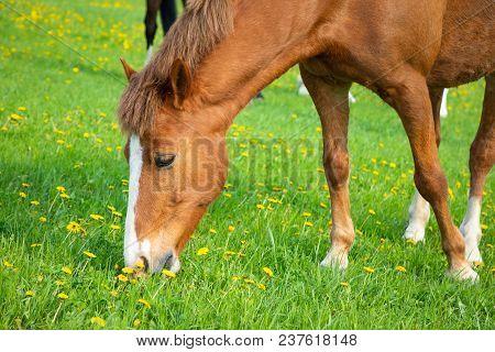 Horse Eat Spring Grass In A Field, Czech Republic