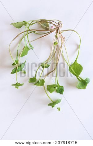 Fresh Organic Chickweed On White Background. Young Taste Very Gently With Flavor Of Nuts, You Can Us