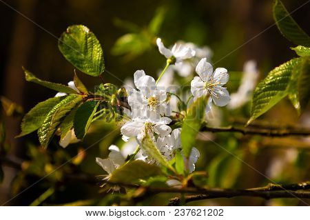 Close-up Flowering Branches Of Apple Trees In The Spring Forest