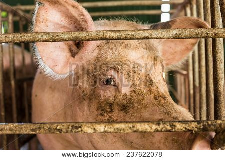 Pig in traditional swine farm, Dirty pig in livestock poster