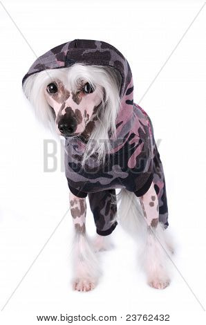 Chinese Crested Dog Portrait Isolated On White