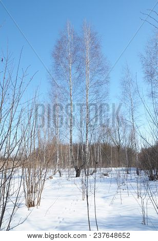 Close Up On Birch Trees In Winter Forest
