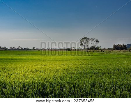 Panorama Of A Green Field Planted With Wheat On A Spring Day