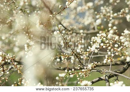 Blossoming Spring Buds. Tree Branches With Blossom In Spring.  Hawthorn Tree Flowers Blooming In Sun