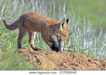 Young Little Red Fluffy Fox Sits On The Lawn And Eats Fish