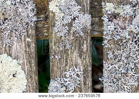 Closeup View Of Lichen In Various Forms And Interesting Textures On Old Wooden  Slats.