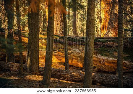 Fallen Giant Sequoia Between Trees In The Ancient Forest Of Sierra Nevada Mountains.
