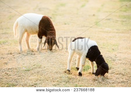 2 Sheep Eating Grass In The Evening, Sheep Have Two Tone In Your Body , White And Black