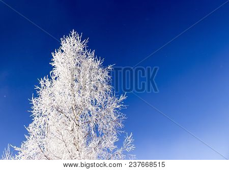 Birch In Snow And Frost On A Background Of Blue Sky In The Form Of A Christmas Tree