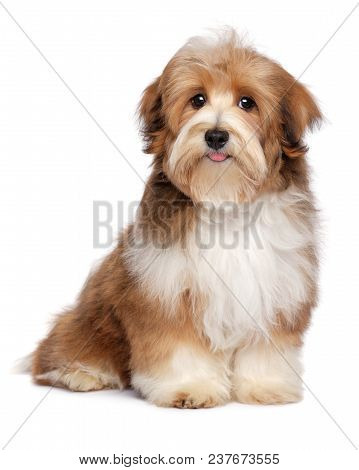 Beautiful Red Parti Colored Havanese Puppy Dog Is Sitting And Looking At Camera, Isolated On White B