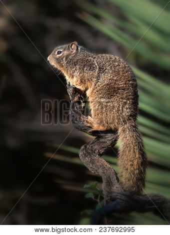 Rock Squirrel California Ground Squirrel Perched Profile Pose