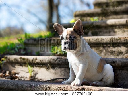 puppy of the French bulldog on the background of the landscape