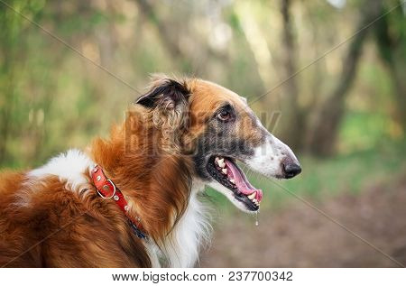 Russian Wolfhound Dog, Borzoi, Sighthound, Russkaya Psovaya Borzaya, Psovi. Killer Of Wolves. One Of