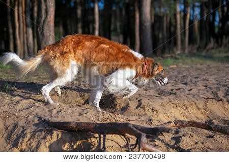 Russian Wolfhound Dog, Borzoi Walk, Sighthound, Russkaya Psovaya Borzaya, Psovi. Killer Of Wolves. O