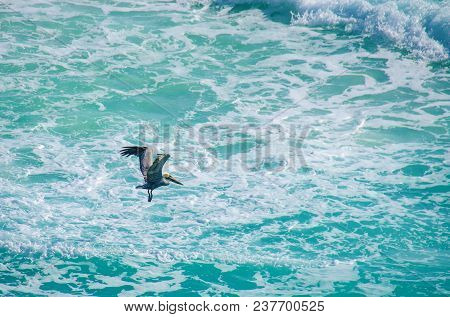 Pelican In The Shores Of Cancun At Quintana Roo State, Mexico