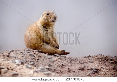 Rodent Of The Mexican Border Seated On The Rocks In A Waiting Position.