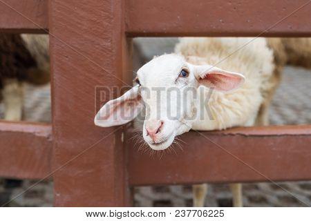Cute White Sheep In The Farm, Animal Mamal Farming Concept.