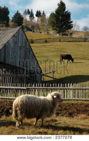 Sheep on a farm in the mountains poster