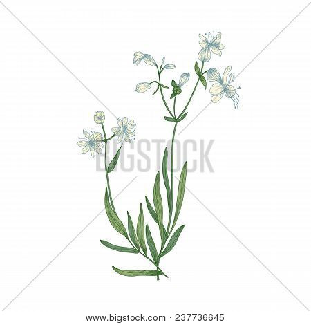 Beautiful Botanical Drawing Of Silene Vulgaris Or Bladder Campion Flowers And Leaves Isolated On Whi