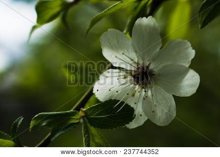White Blossoming Pear Tree Flower, Framed By Green Leaves