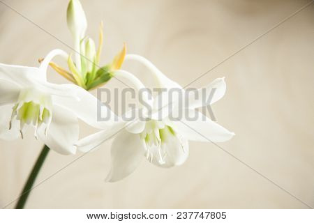 Romantic Natural White Flowers On Blurry Background. Delicate Amaryllis Flowers With Buds And Stamen