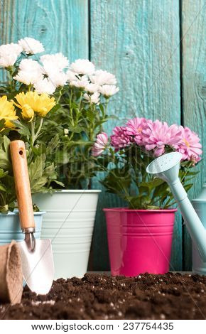 Image Of Colorful Chrysanthemums In Pots, Watering Cans Near Wooden Fence On Spring Day