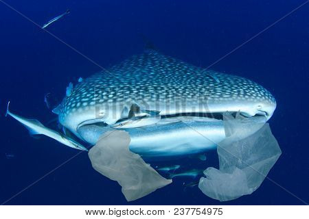 Plastic pollution in ocean threatens marine life. Whale Sharks can accidentally eat plastic bags dumped in sea. (This is a composite image)