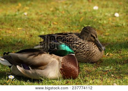 Two Ducks In The Rest, In The Grass, In Front Of A Lake And In The Sun. It Is In France, To Elancour