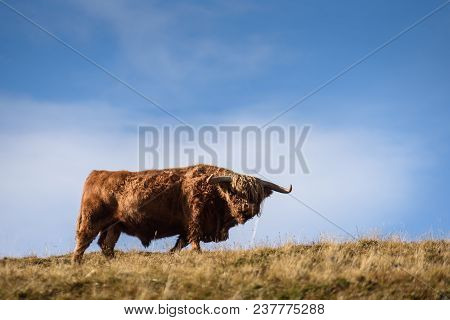 Highland Cattle In The Valley Dolomites Alp