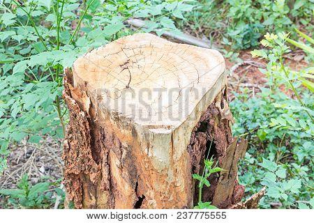 Tree Stump Damaged By Termites On Nature