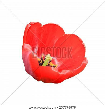 Flower Tulips Isolated On White Dackground. Stock Photo