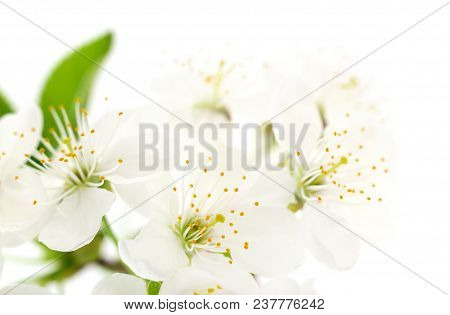 Blossoming An Cherry On A White Background