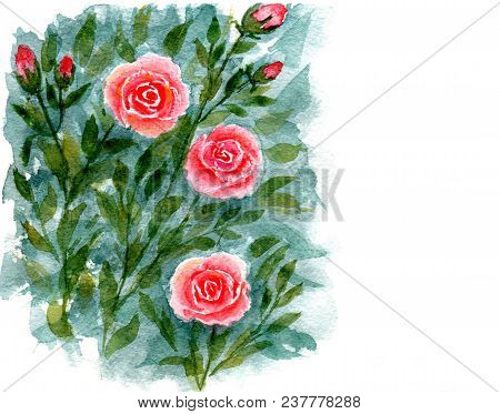 Greeting Card, Bush Of Flowering Roses. Hand-painted Watercolor Illustration And Paper Texture