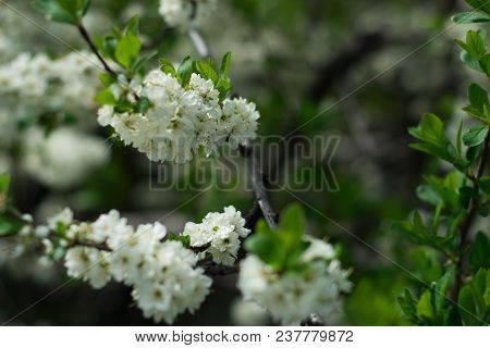Blooming Flowers On A Tree On A Clear Sunny Afternoon, Macro Photography